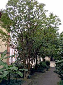 Stewartia pseudocamellia / Japanische Scheinkamelie / Sommerkamelie - sollte als Kübelpflanze im Winter geschützt werden