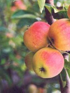 Rückschnitt bei Apfelbäumen sorgt für eine bessere Ernte
