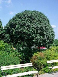 Fraxinus ornus 'Meczek' / Kugelförmige Manna-Esche / Kugelförmige Blumen-Esche - bietet mit der Krone einen guten Sichtschutz