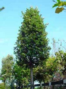 Quercus ilex / Stein-Eiche / Grün-Eiche - immergrüner, mittegroßer Baum