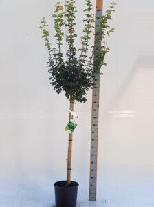 Acer campestre 'Nanum' / Kugel-Feldahorn - als Halbstsamm gut für kleine Gärten geeignet