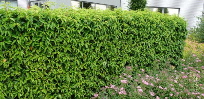 Prunus lusitanica 'Angustifolia' / Portugiesischer Kirschlorbeer / Kirschlorbeer 'Angustifolia' - Rückschnitt nach dem Einpflanzen empfehlenswert