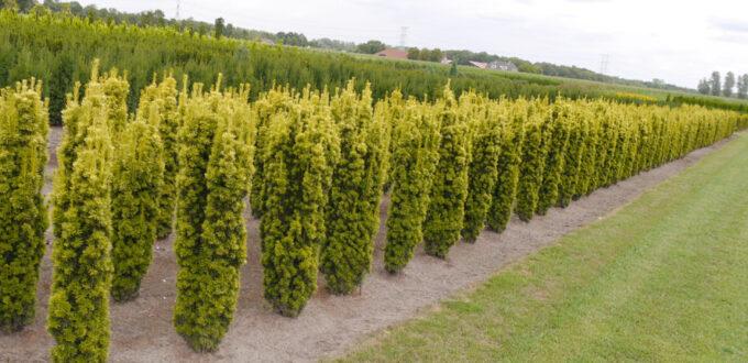 Taxus baccata 'Fastigiata Aurea' / Gelbe Säulen-Eibe - gut für schmale Hecken geeignet