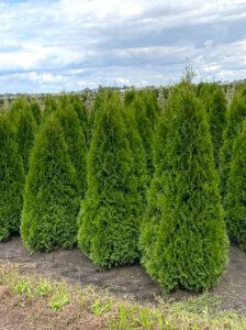 Thuja occidentalis 'Smaragd' / Lebensbaum 'Smaragd' - gut für eine Hecke geeignet