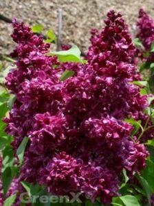 Blüte vom Syringa vulgaris 'Charles Joly' / Gartenflieder