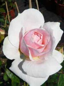 Rosa 'Kir Royal ®' / Kletterrose 'Kir Royal'