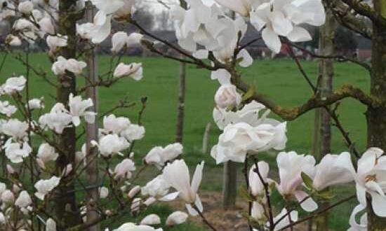 Wunderbare Blütenpracht der Magnolia loebneri 'Merrill' / Große Stern-Magnolie