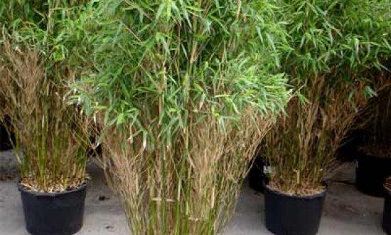 Junge Bambus-Pflanzen sollten vor zu strenger Kälte geschützt werden