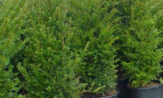 Taxus baccata / heimische Eibe - verträgt auch den Wurzeldruck großer Gehölze