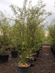 Amelanchier arborea 'Robin Hill' / Kupfer-Felsenbirne 'mehrstämmig'