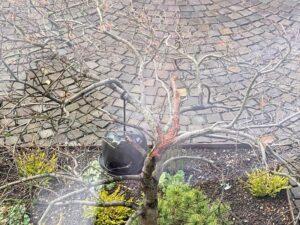 Ahorn-Baum mit Pilzerkrankung