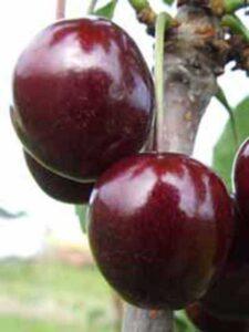 Prunus avium 'Regina' / Süßkirsche 'Regina' - eine sehr leckere Kirschsorte