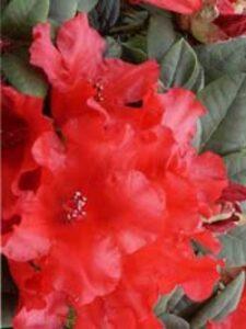 Rhododendron repens 'Bad Eilsen' / Zwergrhododendron 'Bad Eilsen'