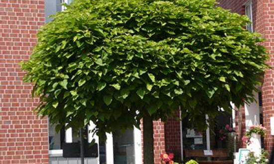 Catalpa bignonioides 'Nana' / Kugel-Trompetenbaum - für exponierte Standorte nicht ideal