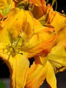 Azalea luteum 'Goldpracht' (Knap-Hill) / Laubabwerfende Azalee 'Goldpracht' - mit leuchtend gelben Blüten