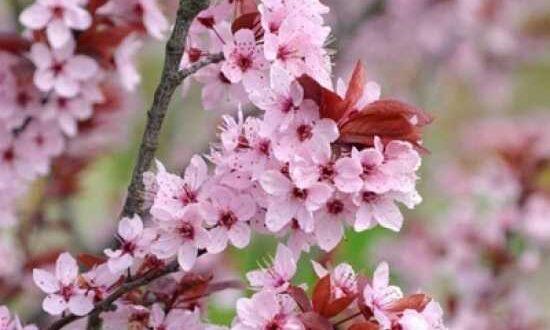 Prunus cerasifera 'Nigra' / Blut-Pflaume in wunderschönem Rosa und von März bis Mai