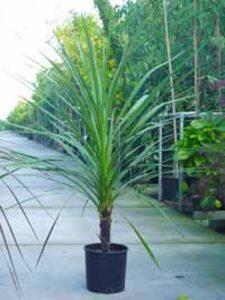 Die Cordyline australis / Keulenlilie ist eine exotische Pflanze, die auch hierzulande immer mehr Gartenfreunde begeistert
