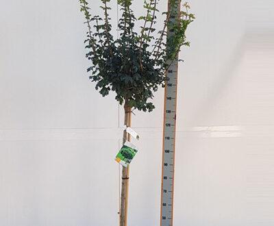 Acer campestre 'Nanum' / Kugel-Feldahorn - schöner Laubbaum als Halbstamm
