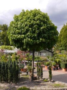 Liquidambar styraciflua 'Gum Ball' / Zwerg-Kugelamberbaum - gut bspw. für eine Hauseinfahrt geeignet