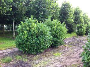 Prunus laurocerasus 'Rotundifolia' - trägt nur wenig Früchte
