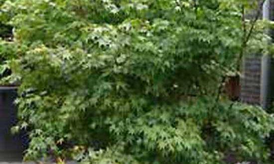 Acer palmatum / Fächer-Ahorn / Japanischer Ahorn - als Kübelpflanze für einen Hauseingang geeignet