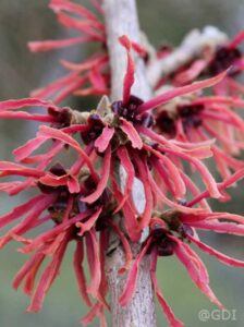 Hamamelis intermedia 'Ruby Glow' / Zaubernuss 'Ruby Glow'