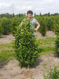 Prunus laurocerasus 'Genolia' / Kirschlorbeer 'Genolia' - vor der Wintersonne schützen, um Frosttrocknis zu vermeiden