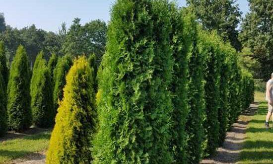 Thuja occidentalis 'Columna' / Säulen-Lebensbaum
