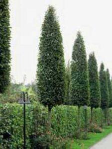 Carpinus betulus 'Frans Fontaine' / Säulen-Hainbuche 'Frans Fontaine'