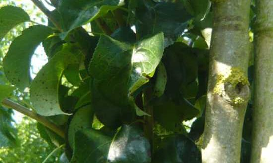 Pyrus communis 'Beech Hill' / Wild-Birne 'Beech Hill' - schöner Laubbaum mit Pfahlwurzel