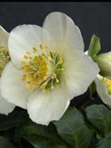 Helleborus niger / Christrose - gut als Unterpflanzung für einen Rhododendron geeignet