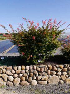 Acer palmatum 'Osakazuki' / Japanischer Ahorn / Fächerahorn 'Osakazuki' - ein außergewöhnlich schöner Laubbaum
