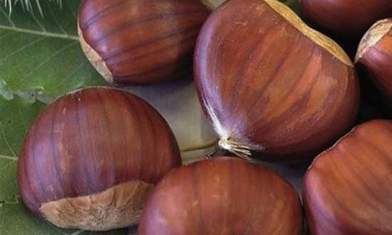 Edelkastanie / Ess-Kastanie / Marone - kann auch Früchte ausbilden, wenn nur ein Baum vorhanden ist