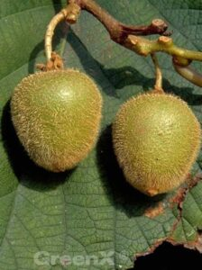 Actinidia deliciosa 'Jenny ®' / Kiwi 'Jenny' ist selbstbefruchtend