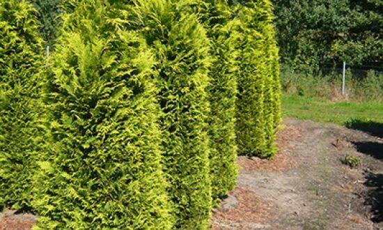 Chamaecyparis lawsoniana 'Ivonne' / gelbe Scheinzypresse Ivonne - gut für Mischhecken geeignet