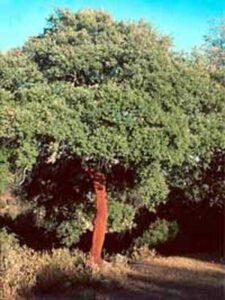 Quercus suber / Kork-Eiche / Pantoffelbaum - in Deutschland nur für sehr milde Regionen geeignet