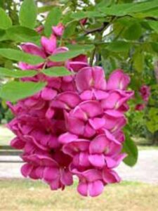 Robinia hispida 'Rosea' / Borstige Robinie 'Rosea'