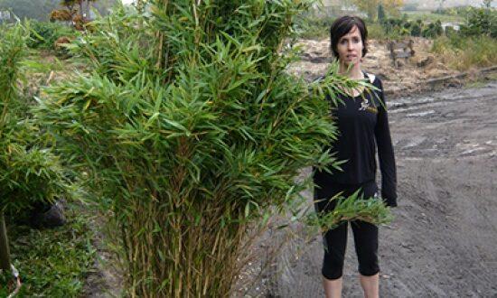 Fargesia murielae 'Jumbo' / Gartenbambus 'Jumbo' - kann auch mit einer Größe von 175-200cm in einen Kübel gepflanzt werden