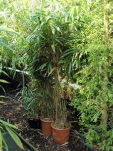 Pseudosasa japonica / Pfeilbambus - gut für Standorte mit Seeklima geeignet
