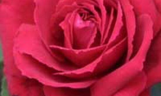 Rosa 'Duftfestival ®' / Edelrose 'Duftfestival' - macht dem Namen alle Ehre und hat einen tollen Duft