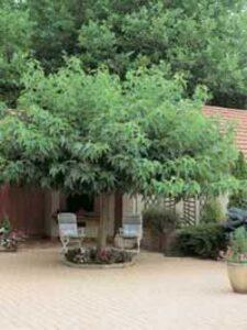 Morus alba 'platanifolia' / Platanenblättriger Maulbeerbaum - bietet guten Sichtschutz