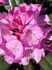 INKARHO-Rhododendron - wie hier er Rhododendron Hybride 'INKARHO Arktis' / Rhododendron 'INKARHO Arktis' - sind sehr standorttolerant