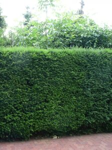 Immergrüne Eibenhecke - kann unter großen Bäumen gepflanzt werden