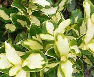 Euonymus fortunei - hier die Sorte Sunspot - ist gut als Einfassung für eine Terrasse geeignet
