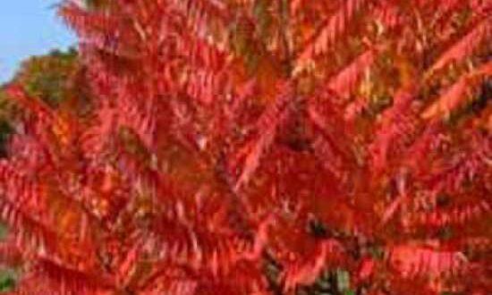 Der Essigbaum - hier ein Geschlitzblättriger Essigbaum - hat tolle Blattfarben