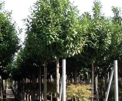 Prunus laurocerasus 'Novita' Hochstamm / Kirschlorbeer 'Novita' - kann nach starkem Frost die Blätter abwerfen