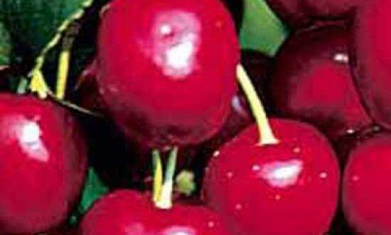 Prunus avium 'Burlat' / Süßkirsche 'Burlat' - trägt aromatisch süße Früchte