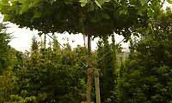Platanus acerifolia 'Dachform/ Dach-Platane - bietet im Sommer ein schattiges Plätzchen zum Verweilen