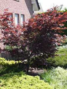 Acer palmatum 'Bloodgood' / Japanischer Blut-Ahorn / Fächerahorn - mit roter Belaubung