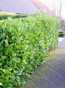 Kirschlorbeer Rotundifolia - trägt nur wenige Früchte